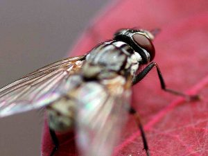 housefly in home in davie